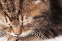 Gatito dormido Imágenes de archivo libres de regalías