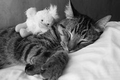 Gatito el dormir en blanco y negro Imagen de archivo