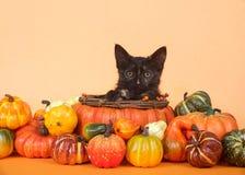 Gatito en cosecha del otoño de la cesta de la calabaza Fotografía de archivo