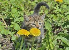 Gatito en el diente de león 4 Foto de archivo libre de regalías