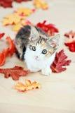 Gatito en hojas de otoño Foto de archivo