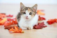 Gatito en hojas rojas Imagen de archivo