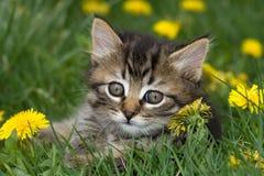 Gatito en los dientes de león. Fotografía de archivo
