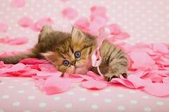 Gatito en los pétalos color de rosa rosados Fotos de archivo libres de regalías