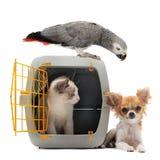 Gatito en portador, loro y chihuahua del animal doméstico Fotos de archivo