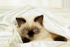 Gatito en satén Fotos de archivo