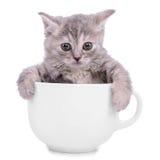 Gatito en taza Fotografía de archivo