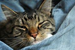 Gatito envuelto para arriba en pantalones vaqueros Foto de archivo