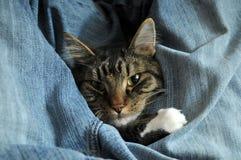 Gatito envuelto para arriba en pantalones vaqueros Fotografía de archivo libre de regalías