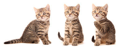 Gatito escocés Imagen de archivo libre de regalías