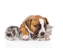Gatito escocés del abarcamiento del perrito Aislado en el fondo blanco Imagen de archivo libre de regalías