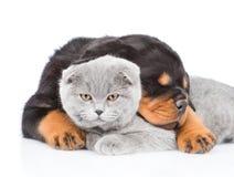 Gatito escocés del abarcamiento del perrito de Rottweiler Aislado en los vagos blancos Fotos de archivo