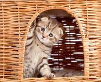 Gatito escocés divertido que se sienta dentro de casa de mimbre Imagen de archivo