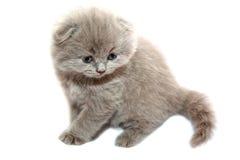 gatito escocés en el blanco Fotografía de archivo libre de regalías