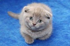 Gatito escocés en la cama Imagen de archivo libre de regalías