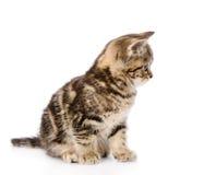 Gatito escocés en perfil Aislado en el fondo blanco Imagen de archivo libre de regalías