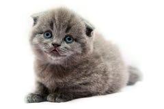 Gatito escocés gris Fotografía de archivo