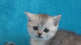 Gatito escocés gris en la cama azul metrajes