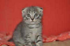 Gatito escocés hermoso fotos de archivo libres de regalías
