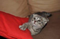 Gatito escocés hermoso fotografía de archivo