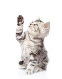 Gatito escocés juguetón que mira para arriba Aislado en el fondo blanco Imagenes de archivo