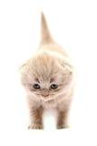 Gatito escocés púrpura Imágenes de archivo libres de regalías