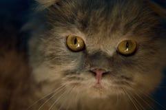 Gatito escocés plegable del tabby del oído foto de archivo