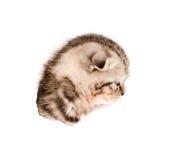 Gatito escocés principal en agujero rasgado lado de papel Aislado en blanco Fotografía de archivo libre de regalías