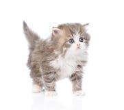 Gatito escocés que mira lejos Aislado en el fondo blanco fotos de archivo libres de regalías
