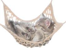 Gatito estriado lindo que duerme en la hamaca aislada Foto de archivo