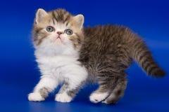 Gatito exótico Fotos de archivo libres de regalías