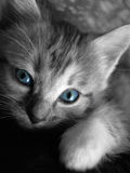 Gatito eyed azul Fotos de archivo libres de regalías