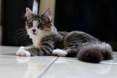Gatito femenino del gato atigrado Imagen de archivo libre de regalías