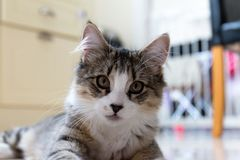 Gatito femenino del gato atigrado Imágenes de archivo libres de regalías
