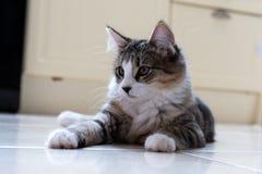Gatito femenino del gato atigrado Imagen de archivo