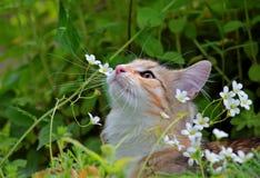 Gatito femenino del gato noruego del bosque con las flores blancas Imagen de archivo