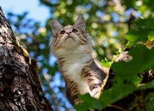 Gatito femenino del gato noruego del bosque que se coloca en una rama Imagen de archivo