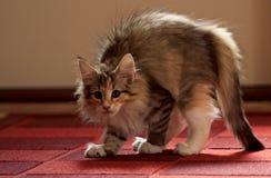 Gatito femenino del gato noruego hermoso del bosque un pedazo asustado Fotografía de archivo libre de regalías