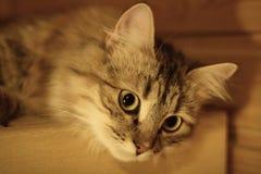 Gatito finlandés lindo Fotografía de archivo libre de regalías