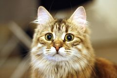 Gatito finlandés lindo imagen de archivo libre de regalías