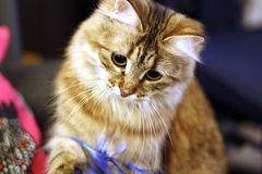 Gatito finlandés lindo foto de archivo