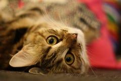 Gatito finlandés lindo del shorthair Foto de archivo