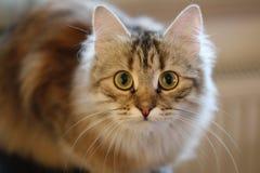 Gatito finlandés lindo del shorthair Fotos de archivo libres de regalías
