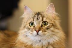 Gatito finlandés lindo del shorthair imagen de archivo libre de regalías