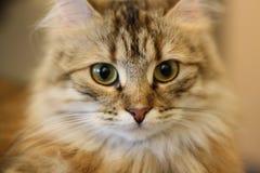 Gatito finlandés lindo del shorthair imagen de archivo
