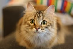 Gatito finlandés lindo del shorthair fotografía de archivo libre de regalías
