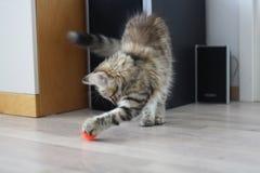 Gatito finlandés lindo del shorthair Foto de archivo libre de regalías