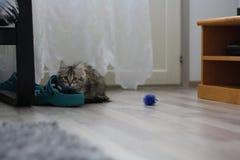 Gatito finlandés lindo del shorthair Fotografía de archivo