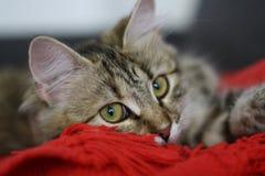 Gatito finlandés lindo del shorthair Fotos de archivo