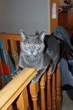 Gatito gris Imagen de archivo